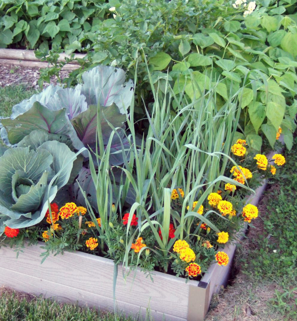 Marigolds, cabbages and leeks.