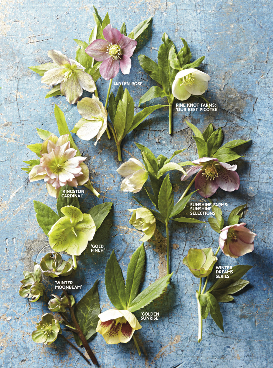 How To Grow Hellebores For Early Spring Blooms Midwest Living