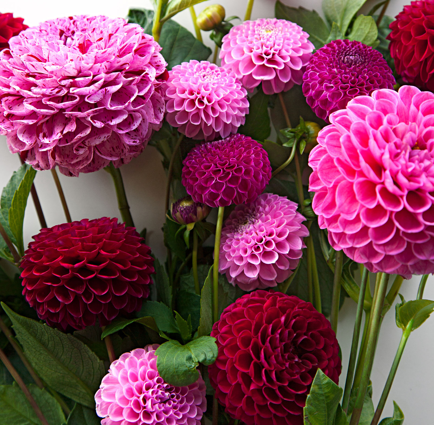 How To Plant Grow And Care For Dahlias Midwest Living