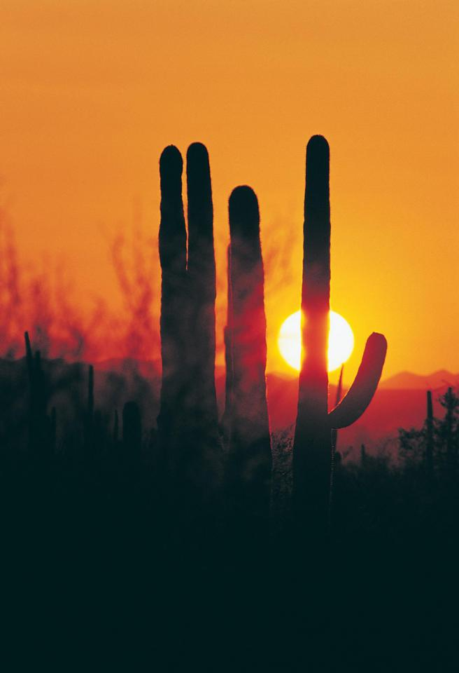Saguaro silhouettes. Photo by Fred Hood/Metropolitan Tucson Convention and Visitors Bureau.
