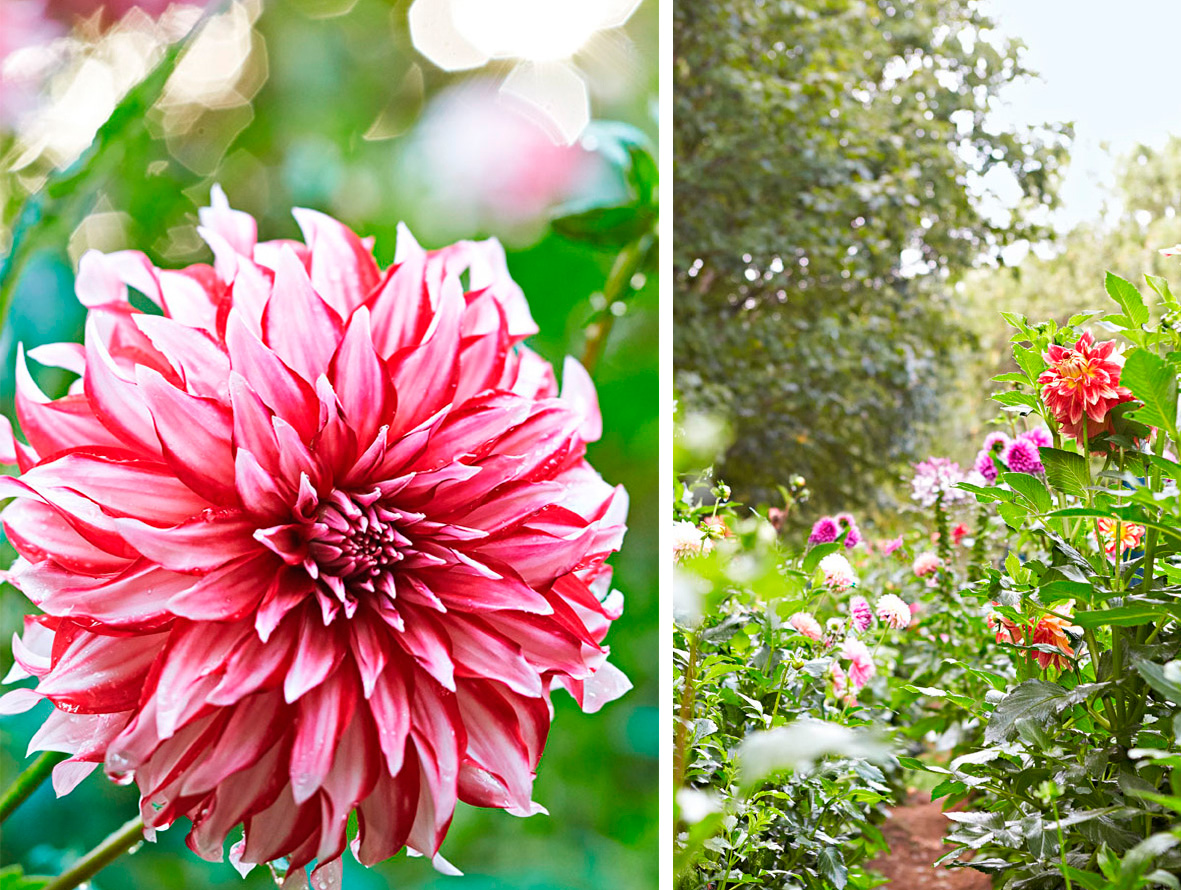 Variety show dahlias in the spotlight midwest living dahlia santa claus left photos by kim cornelison izmirmasajfo