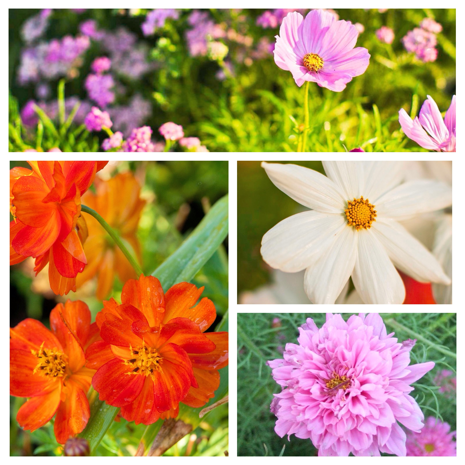 Five Easy Annuals From Seed Midwest Living