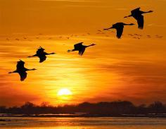 Sandhill cranes, Rowe Sanctuary