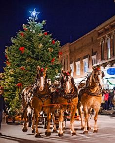 A team of horses delivers a towering Christmas tree.