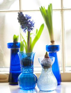 How to Force Hyacinth Bulbs In a Vase