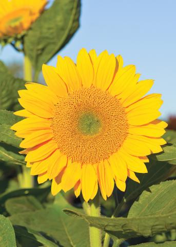 7 sunflowers we love midwest living