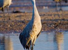 Sandhill cranes. Photo courtesy of Kearney Visitors Bureau.