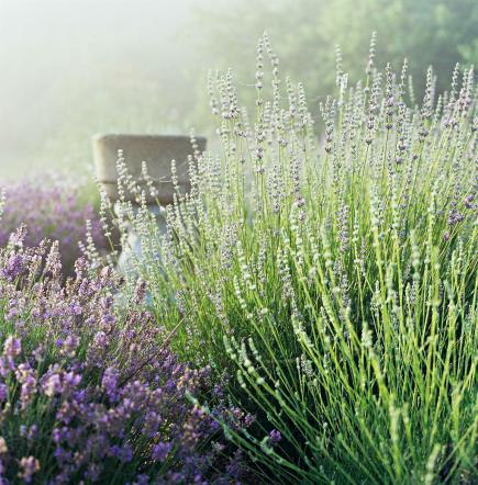How To Grow Lavender In The Midwest Midwest Living