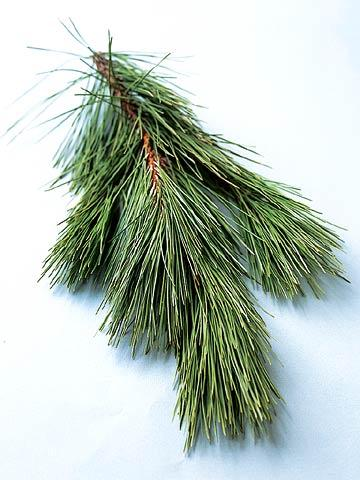 Norway (Red) Pine - 9 Favorite Christmas Trees Midwest Living