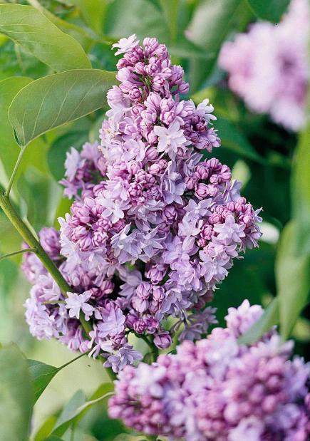 Lilacs springs favorite perfume midwest living mightylinksfo