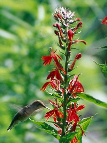 Start a Hummingbird Garden | Midwest Living