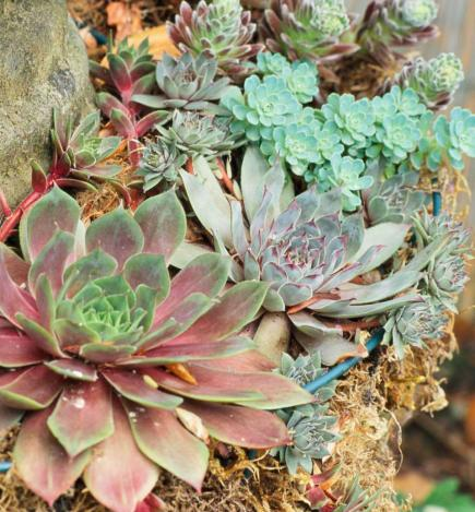10 Top Succulent Plants for the Midwest | Midwest Living Zone Garden Design Succulents on garden designs zone 6, garden designs zone 3, garden designs zone 7,