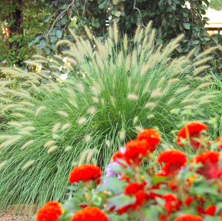 Best ornamental grasses for midwest gardens midwest living for Landscape grasses for sun