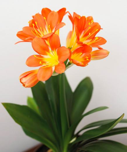 indoor plants winter gardening clivia