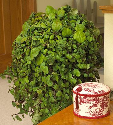 Plectranthus Part 68