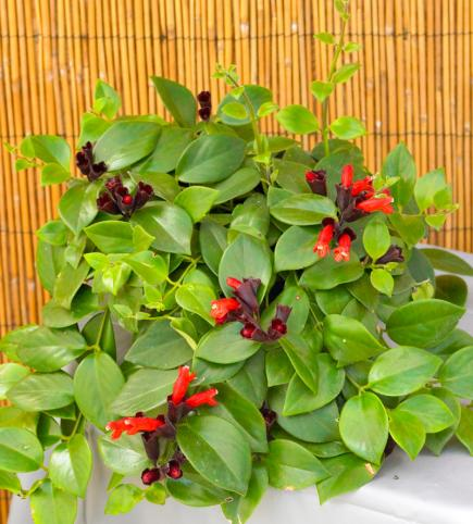 indoor plants winter gardening lipstick plant