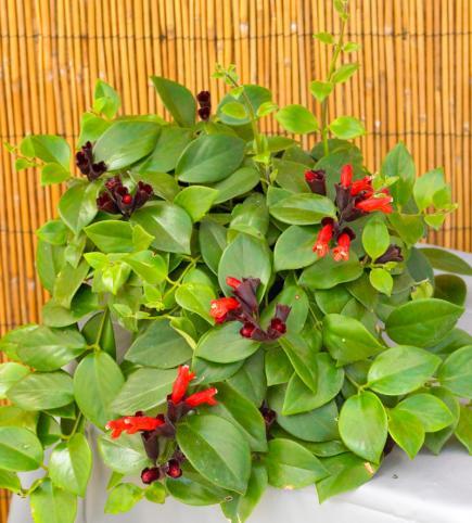 Indoor Plants, Winter Gardening. Lipstick Plant