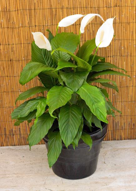 House plants common houseplants and best indoor plants for Best easy indoor plants