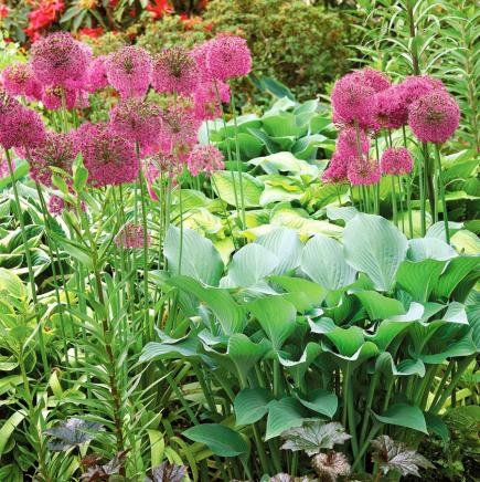 12 top midwest perennial flowers midwest living allium mightylinksfo