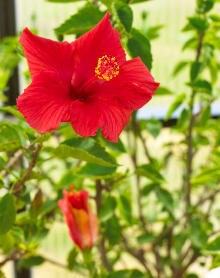 indoor plants winter gardening hibiscus - Red Flowering House Plants