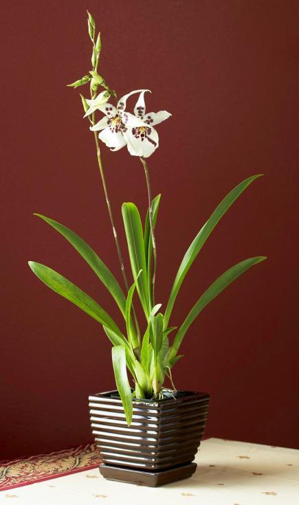 Belleara orchid