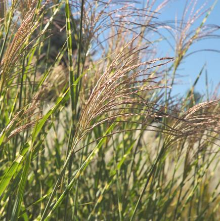 Best ornamental grasses for midwest gardens midwest living for Perennial grasses red