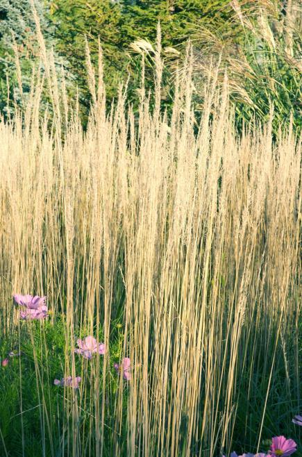 Best ornamental grasses for midwest gardens midwest living for Tall perennial grasses