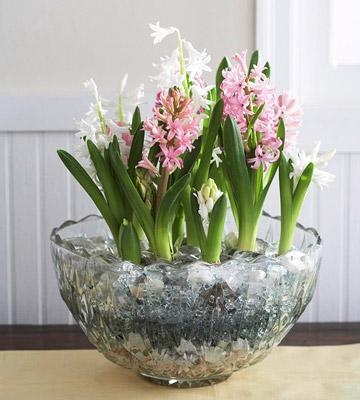 How to grow indoor blooms and bulbs midwest living - Planting hyacinths indoors ...