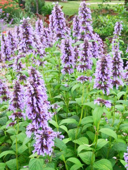 purple plants for midwest gardens midwest living - Common Purple Garden Flowers