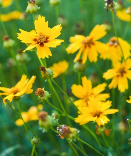 25 top easy care plants for midwest gardens midwest living coreopsis mightylinksfo