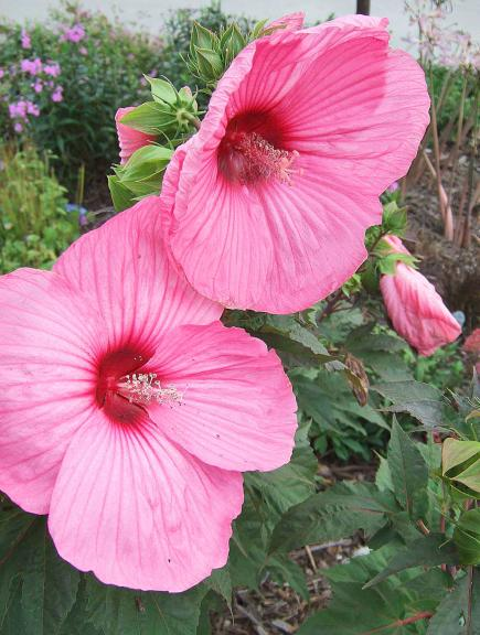 25 top easy care plants for midwest gardens midwest living hardy hibiscus mightylinksfo