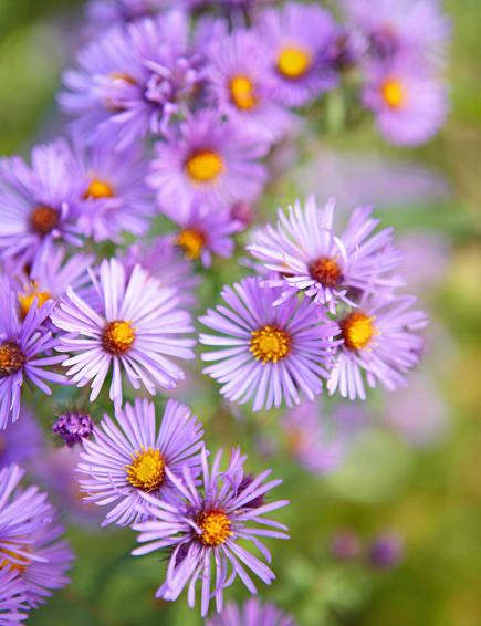 top midwest perennial flowers  midwest living, Beautiful flower