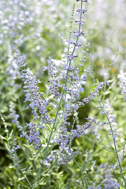 25 top easy care plants for midwest gardens midwest living russian sage mightylinksfo