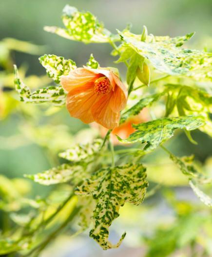 10 top flowering houseplants midwest living flowering maple mightylinksfo