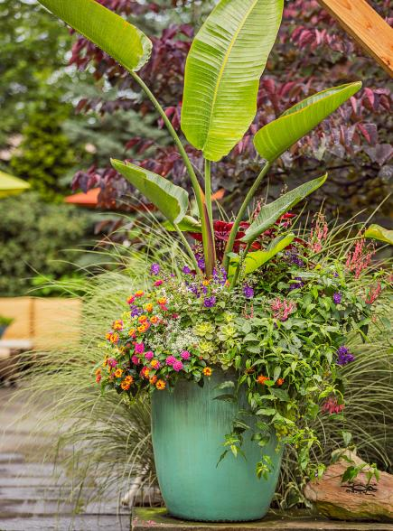 Bird of paradise container garden