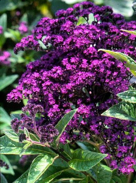 Purple plants for midwest gardens midwest living heliotrope mightylinksfo