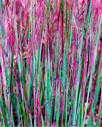 Tall Ornamental Grass Varieties Best ornamental grasses for midwest gardens midwest living little bluestem workwithnaturefo