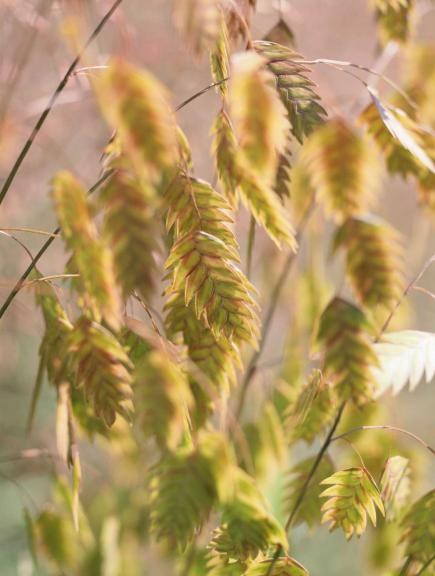 How to use ornamental grasses in midwest gardens midwest for Ornamental oat grass varieties