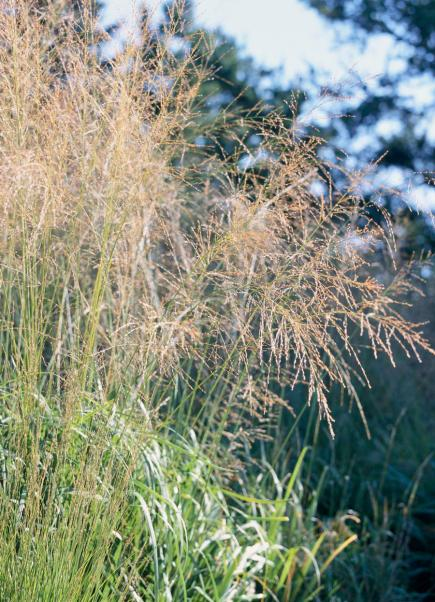Common Ornamental Grasses Best ornamental grasses for midwest gardens midwest living switchgrass workwithnaturefo