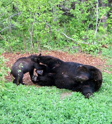Things to Do in Minnesota's North Country--North American Bear Center