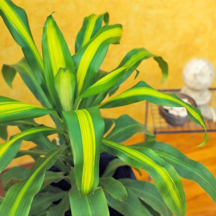Tropical office plants Interior Dracaena Sportsviewco 20 Supereasy Houseplants Youll Love Midwest Living