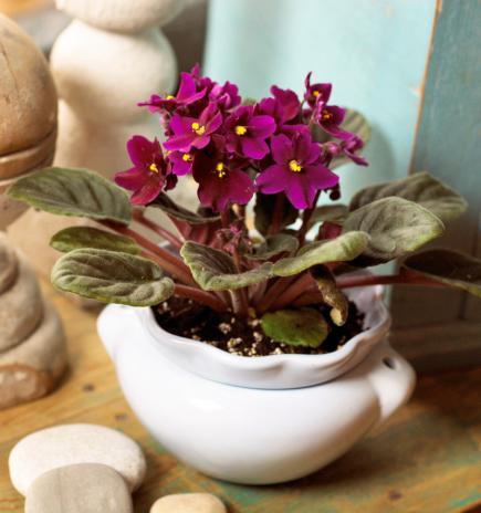 Indoor Plants, Winter Gardening. African Violet