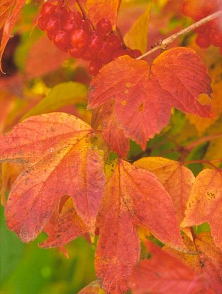 Best Trees Amp Shrubs For Fall Color Midwest Living