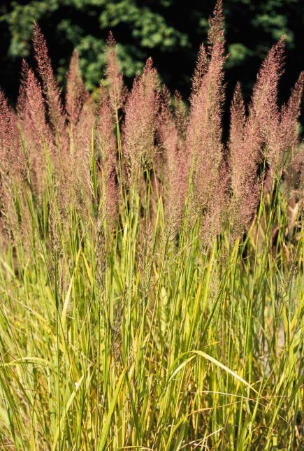 Best ornamental grasses for midwest gardens midwest living for Tall oriental grass