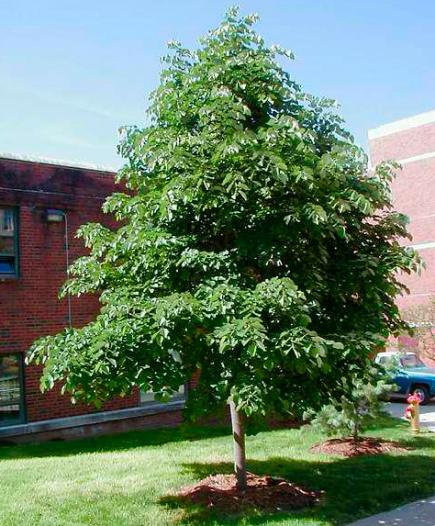 tough trees for midwest lawns  midwest living, Natural flower