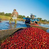 Wisconsin's cranberry harvest