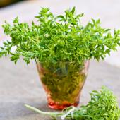 Bush basil (or spicy globe basil)