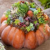 Succulent pumpkin display