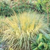 Best ornamental grasses for midwest gardens midwest living for Ornamental oat grass varieties