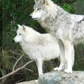 Things to Do in Minnesota's North Country--International Wolf Center